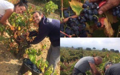 Vendanges 2017 , les dernières grappes de Carignan